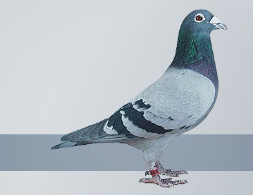 the best breeding pigeons
