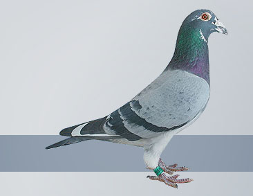 the best breed for racing pigeon