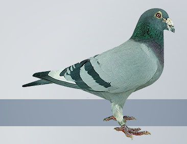 pigeons out of the Janssen strain were the best