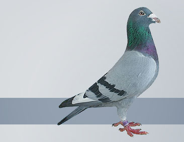 Janssen pigeons in breed from the best pigeons