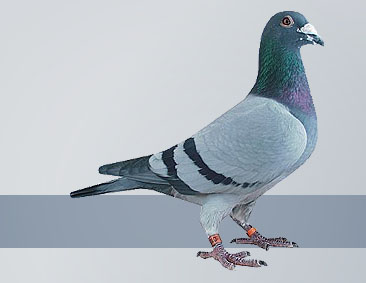 pigeons from Janssen Brother