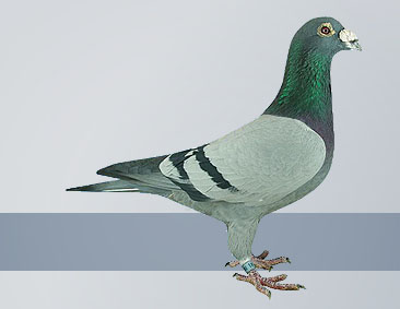 The exclusive Janssen racing pigeons