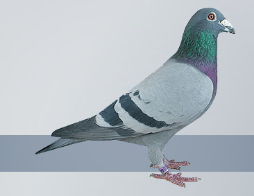 Selecting a Pigeon for Distance Racing
