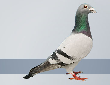 The best performance pigeons