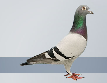 The Best Racing Pigeons in the World