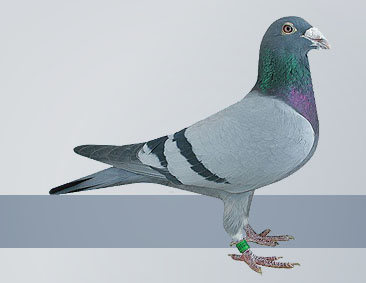 pigeons came from Gus Hofkens