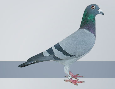 dominant breeding pigeons