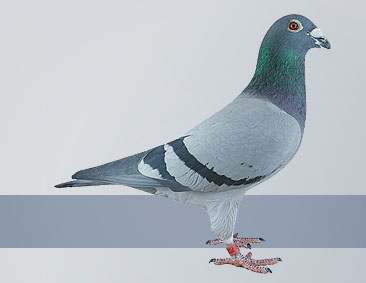 Gust Hofkens had the very best pigeons