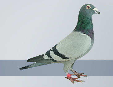 3rd National Ace Pigeon