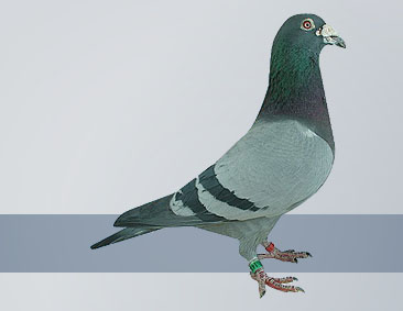 the best kept breed of racing pigeon