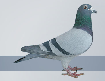 Hofkens hen-both wonderful pigeons