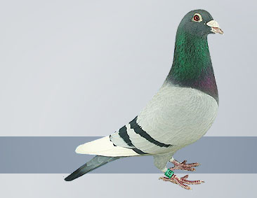 Best Racing Pigeon Breeders