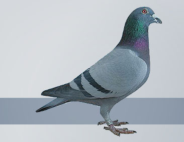 the best Janssen pigeons