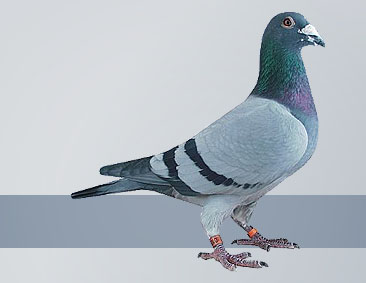 pigeons out of the Janssen strain