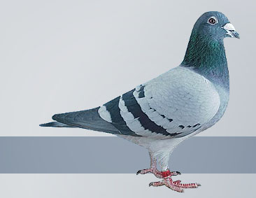 the greatest Janssen racing pigeons