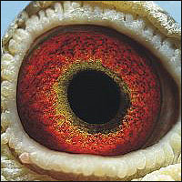 Breeders use eye sign